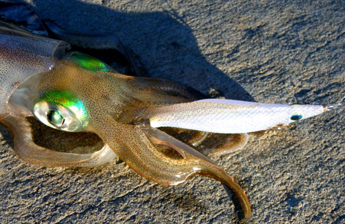 Squid caught in Cockburn Sound