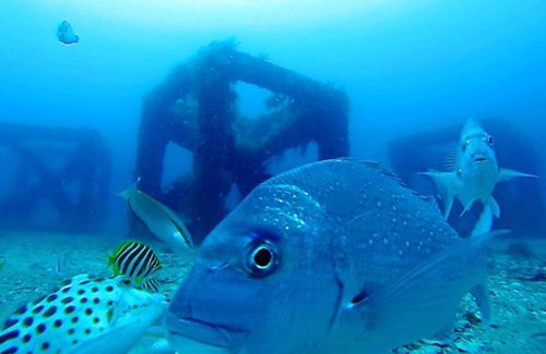 Snapper on artificial reef