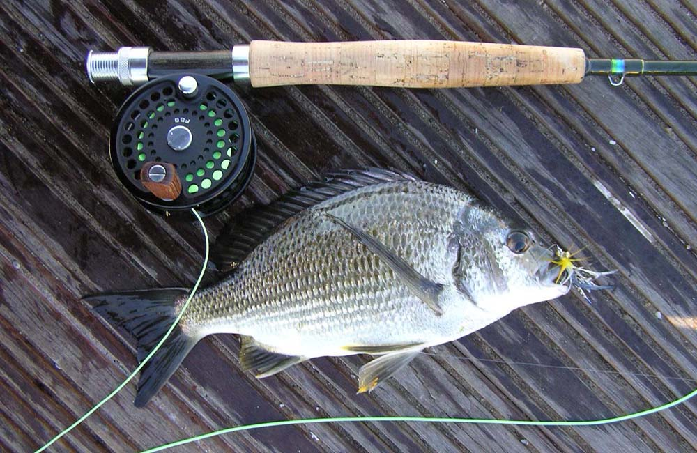 Bream on fly Matilda Bay