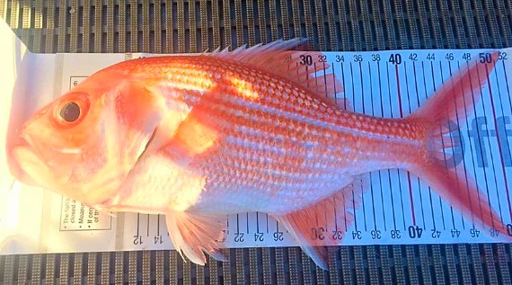 18 november 2016 south coast fishing report ilovefishing for Fish size limits