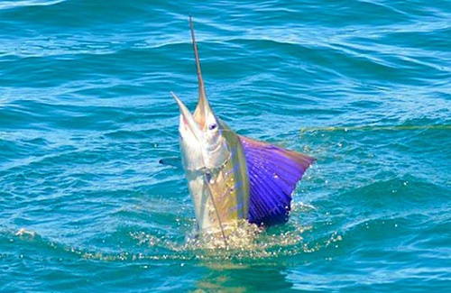 Kalbarri sailfish