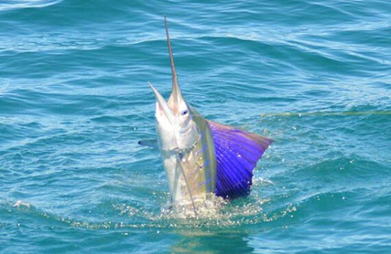 Broome sailfish