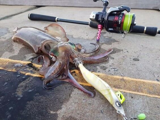 South west squid