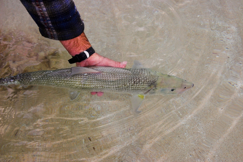 Bonefish-are-one-great-sportfish-and-should-be-released-to-fight-another-day