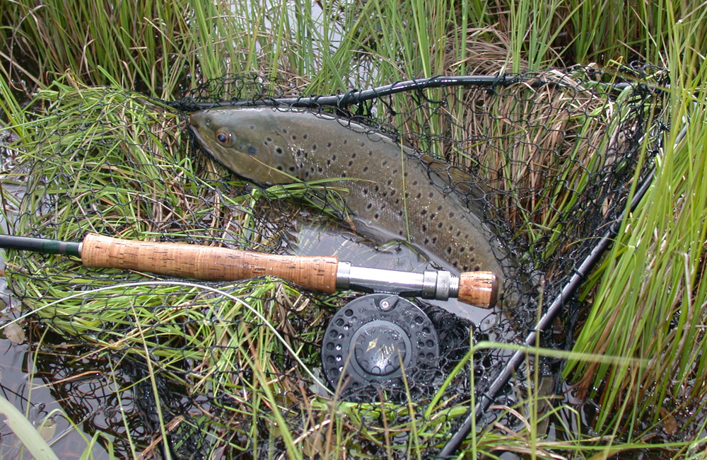Brown trout are highly prized captures here in WA. 5294e8dd2f7a
