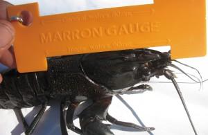 Marron Gauge