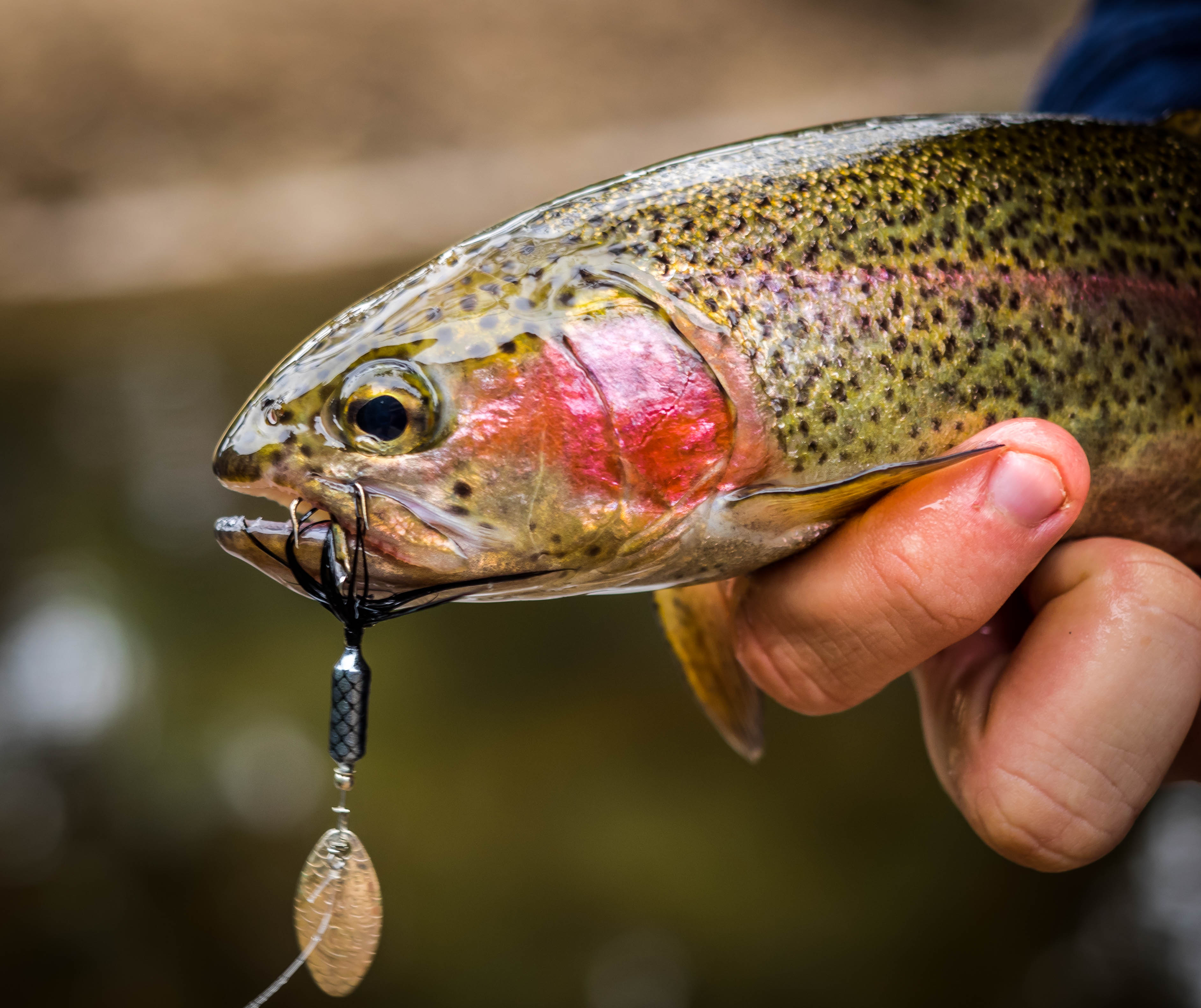 Freshwater Trout | ilovefishing