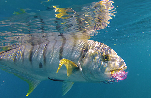 Golden trevally under water