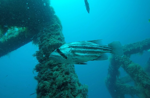 Artificial reef dhufish