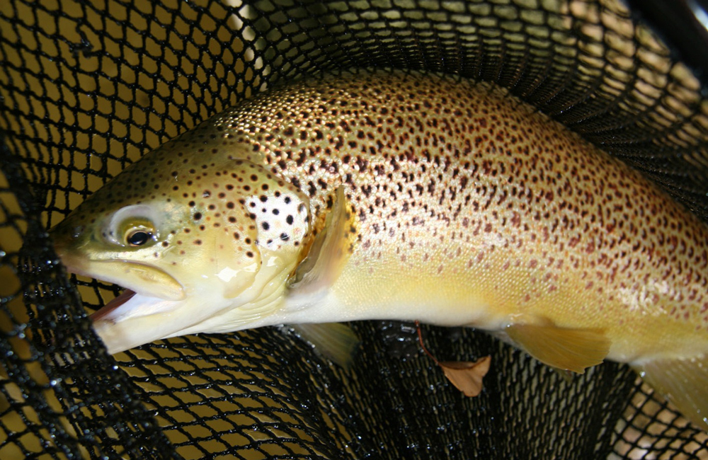 trout-in-net-Pemberton-Hachery-DOF-photo
