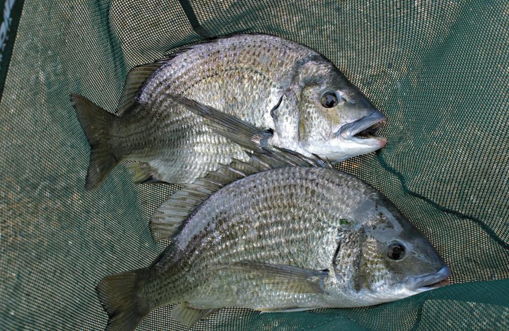 Swan River Winter bream in net