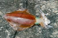 Squid caught off the rocks