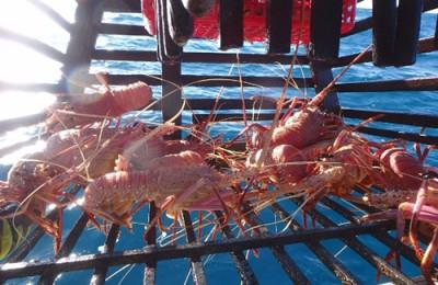 Geraldton western rock lobster