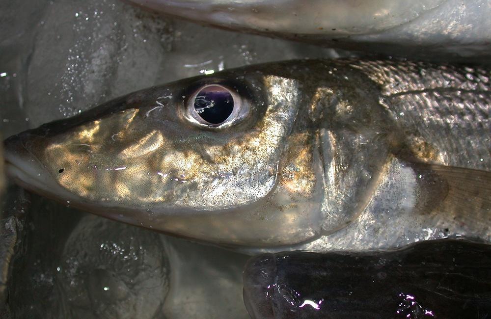 Yellowfin whiting