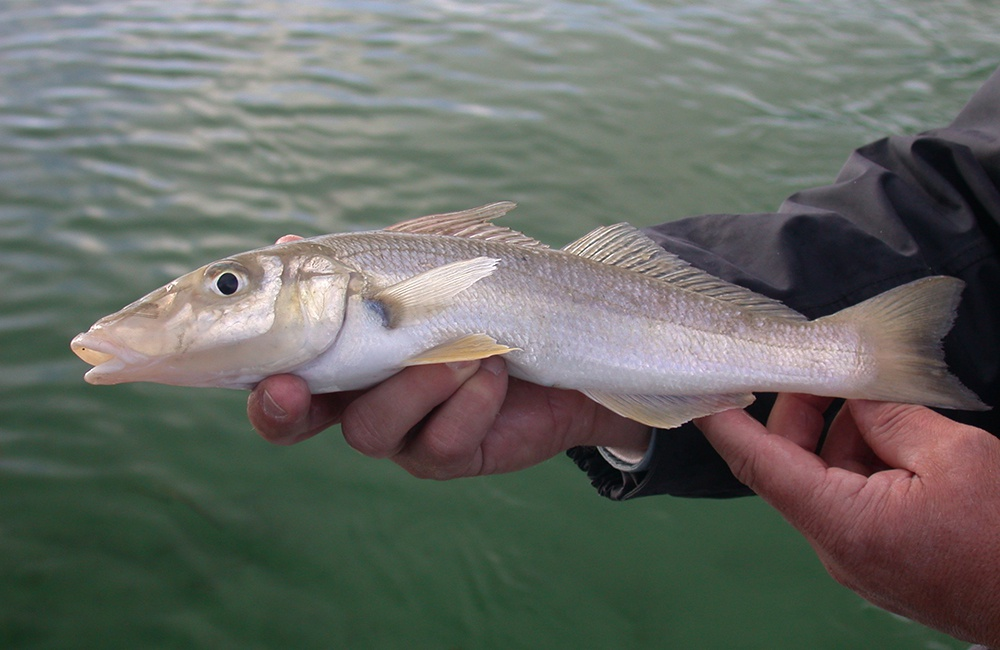 Yellowfin whiting