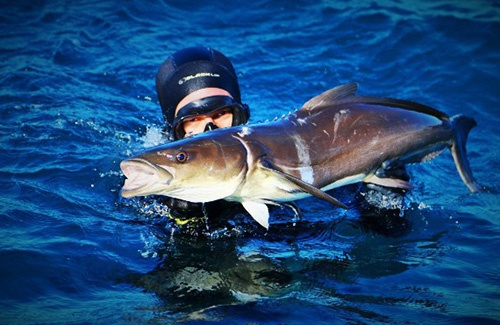Exmouth cobia spearfishing