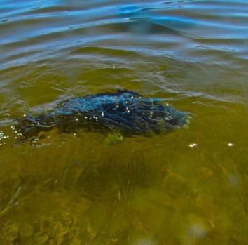 Black bream in the Swan River