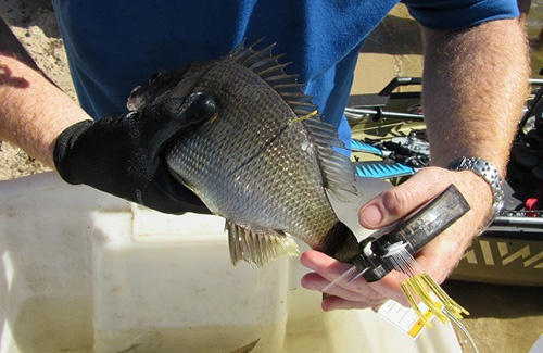 Bream being tagged