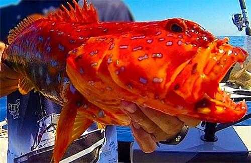 Esperance harlequin fish