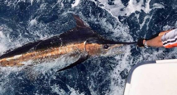 Geraldton Blue Marlin