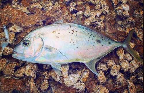 Exmouth gold spot trevally