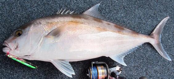Esperance samson fish