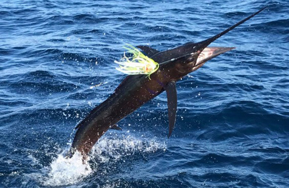 Exmouth sailfish