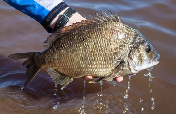 Kalbarri black bream