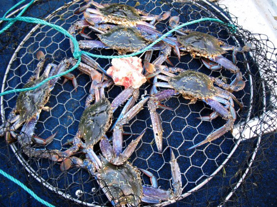 South west Blue swimmer crab