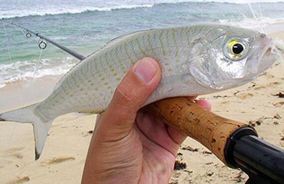 Mandurah herring